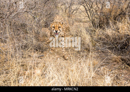 Cheetah snarling growling at camera - Stock Photo