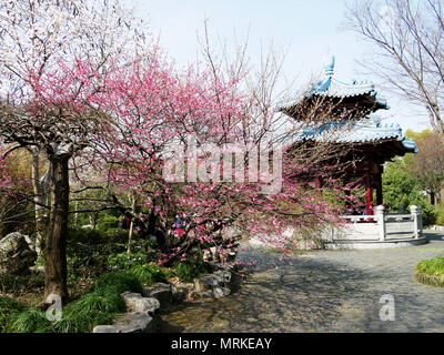 Cherry blossoms in Chinese park - Stock Photo