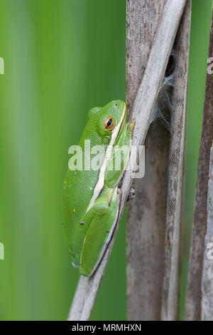 An American green tree frog resting on dead cattails. - Stock Photo