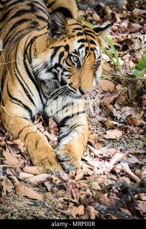 Vertical portrait of a two year old male Bengal Tiger, Panthera tigris tigris, Bandhavgarh Tiger Reserve, Madhya Pradesh, India - Stock Photo