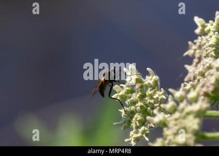 robber fly, empis tesselata feeding on cow parsley flower heads for nectar on a sunny day, scotland - Stock Photo
