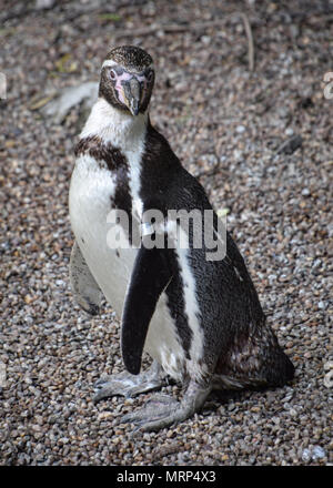 Humbolt penguin in captivity