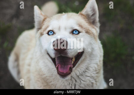 Close up view of a head of a brown husky dog - Stock Photo