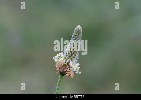 ribwort plantain Latin plantago lanceolata in a meadow in Italy also called narrowleaf or English plantain and ribleaf or lamb's tongue - Stock Photo