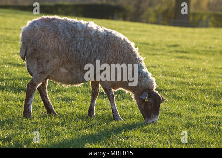 North Country Mule ewe in a field in North Yorkshire, England, United Kingdom - Stock Photo