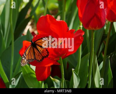A butterfly perches on a blooming tulip bulb sipping nectar - Stock Photo
