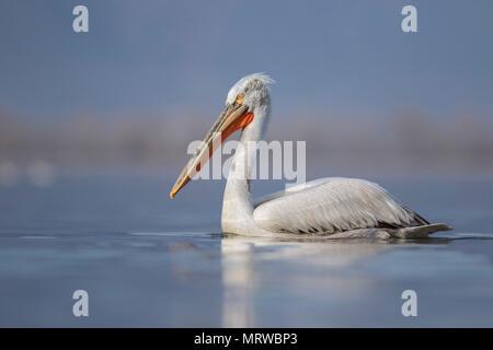 Dalmatian Pelican (Pelecanus crispus), swimming on water, Kerkini lake, Macedonia, Greece - Stock Photo