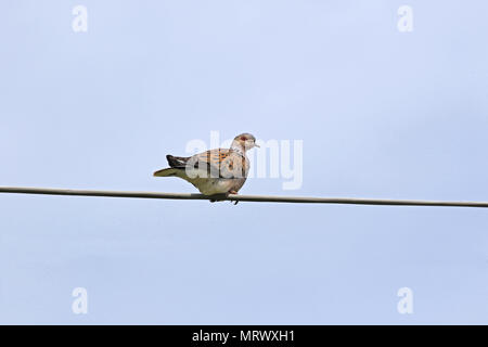 Turtle dove Latin name streptopelia turtur adult close to not a collared dove or mourning dove vulnerable status perched on a wire in spring in Italy - Stock Photo