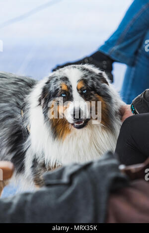 Portrait of blue merle border collie with blue eyes iceland - Stock Photo
