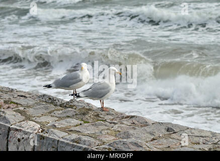A pair of herring gulls on the sea wall at high tide. - Stock Photo