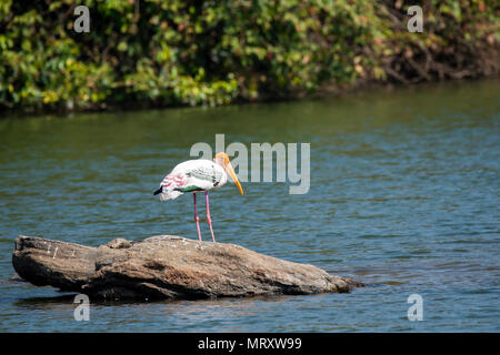 Painted storks are local migratory birds and spend considerable amount of time in backwaters of cauvery river basin in Ranganathitu bird sanctuary - Stock Photo