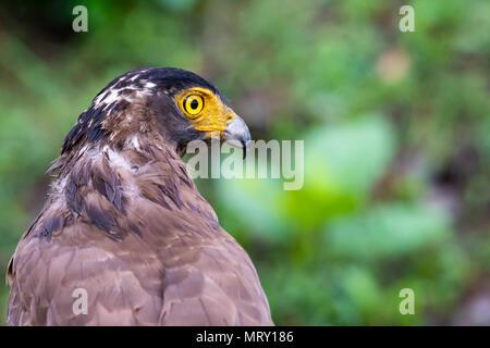 Crested Serpent Eagle inside nagarhole tiger reserve during a wildlife safari - Stock Photo