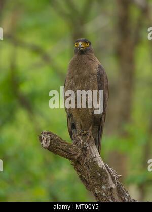 Crested Serpent Eagle - photographed at BR Hills (Karnataka, India) - Stock Photo