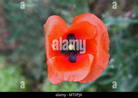 Poppy flower or papaver rhoeas remembering 1918 the flanders fields poppy flower or papaver rhoeas remembering 1918 the flanders fields poem by john mccrae and mightylinksfo