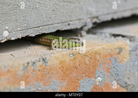 Italian wall lizard bright green and close up crawling through a crack in a wall Latin name podarcis sicula muralis in Italy in springtime - Stock Photo