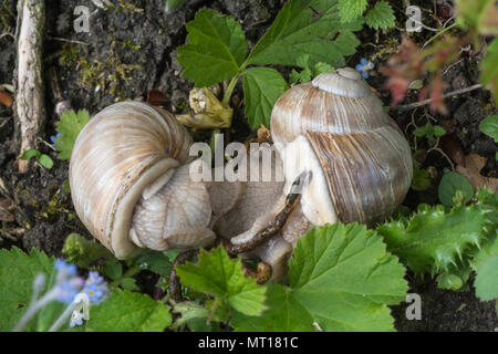 Mating pair of Roman snails (Helix pomatia), also known as Burgundy or edible snail in chalk downland habitat at Denbies Hillside in Surrey, UK - Stock Photo