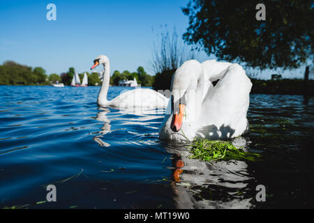 Couple of white grace swan on Alster lake on a sunny day in Hamburg - Stock Photo