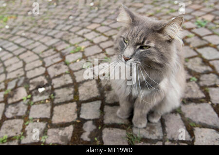 High angle view of gray cat sitting on side walk,Heidelberg,Germany - Stock Photo