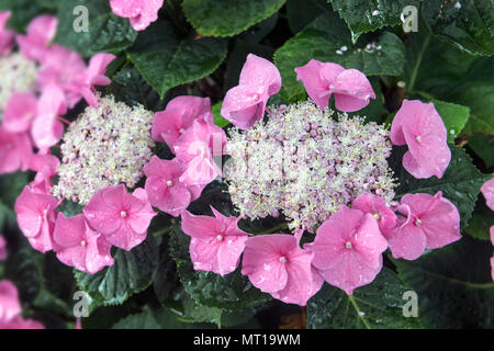 Mountain Hydrangea ,Hydrangea serrata, blossoms, Germany - Stock Photo