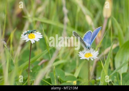 Common blue butterfly (Polyommatus Icarus) and a swollen-thighed beetle (Oedemera nobilis) nectaring on adjacent ox-eye daisies in Hampshire, UK - Stock Photo