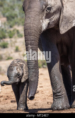 Tender moment between a mother elephant and her calf. - Stock Photo