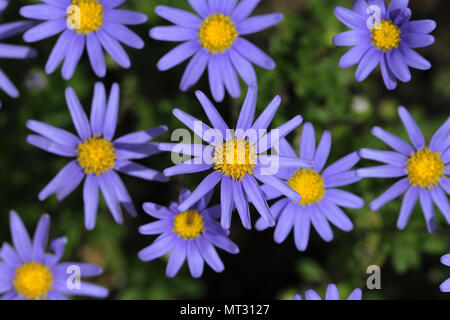 Felicia bergeriana or kingfisher daisy sometimes confused with felicia ameloides or a blue marguerite from the compositae family in bloom in Italy - Stock Photo