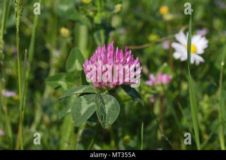 pink clover in flower Latin trifolium pratense or wild field clover in bloom with variegated leaves in Italy in springtime - Stock Photo