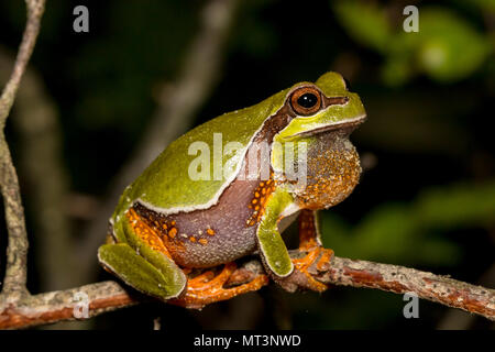 Vocalizing pine barrens tree frog - Hyla andersonii - Stock Photo