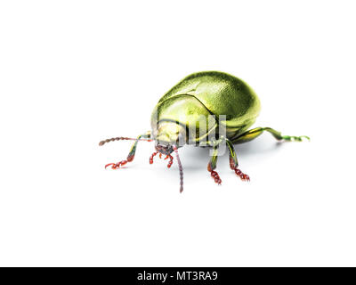 Chrysolina Coerulans Golden Yellow Mint Leaf Beetle Insect Macro Isolated on White - Stock Photo