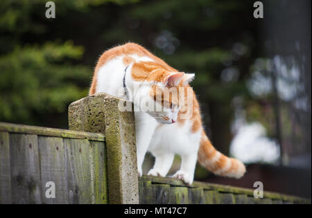photo of a cute ginger tabby walking cautiously on the fence Stock Photo
