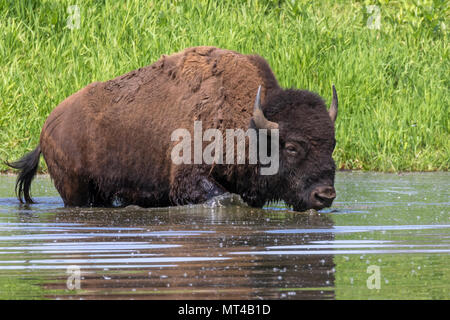 American bison (Bison bison) bathing in a lake during hot summer day, Iowa, USA. - Stock Photo