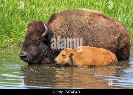 Cow and calf American bison (Bison bison) bathing in a lake during hot summer day, Iowa, USA. - Stock Photo