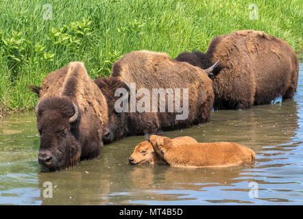 A herd of American bison (Bison bison) bathing in a lake during hot summer day, Iowa, USA. - Stock Photo