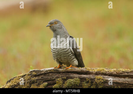 A stunning Cuckoo (Cuculus canorus) perching on a log. - Stock Photo