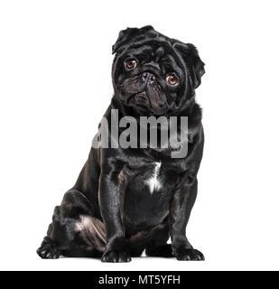 Pug, 1 year old, sitting against white background - Stock Photo