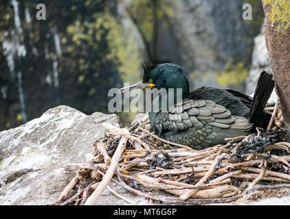 European or common shag, Phalacrocorax aristotelis, sitting on cliff ledge nest, Isle of May seabird nature reserve, Scotland, UK - Stock Photo