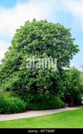 large specimen of a horse chestnut tree, Aesculus hippocastanum, in full flower - Stock Photo