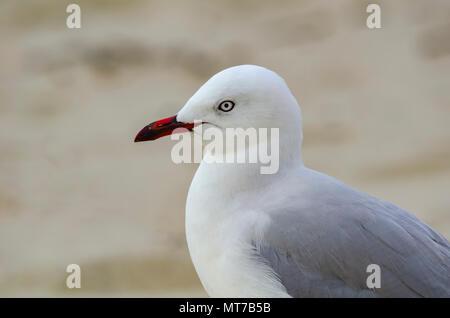 Silver Gull, Army Bay, North Island, New Zealand - Stock Photo