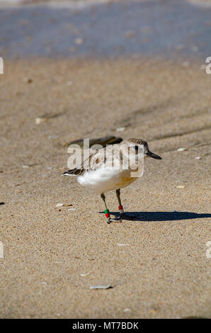 New Zealand Dotterel, Shakespear Regional Park, North Island, New Zeland - Stock Photo