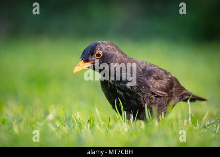 Detailed view of a young Black Bird having flown the nest, seen on a summer lawn hunting for insects and worms, taken just after a heavy downpour. - Stock Photo