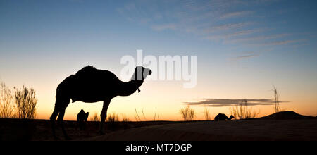 Silhouette of a camel at sunset in the desert of Sahara, South Tunisia - Stock Photo