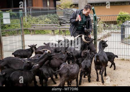 Young man feeding goats ,having fun at zoo - Stock Photo