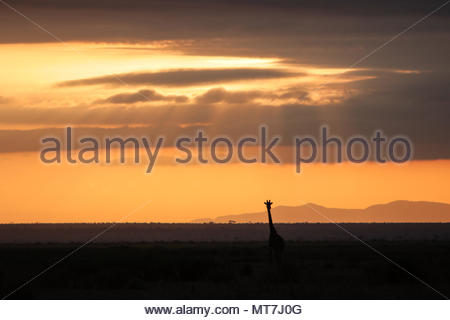 A lone giraffe starting the day gazing the plains of beautiful Masai Mara in Kenya with a spectacular sky during early morning sunrise. - Stock Photo