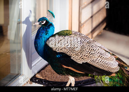 Beautiful blue Indian male peafowl (peacock) pet trying to get in a house building - knocking for entrance - Stock Photo