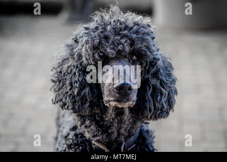 Backlit large collared black standard poodle dog with natural coat staring directly to camera on patio - headshot portrait - Stock Photo