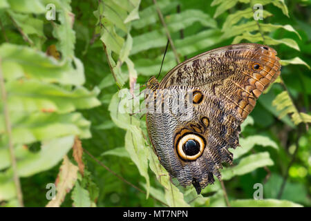 Forest Giant Owl - Caligo eurilochus, beautiful large butterfly from Central and South  America forests. - Stock Photo