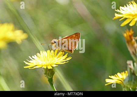 Orange skipper butterfly possibly small, Essex or lulworth skipper Latin name thymelicus sylvestris, lineola or acteon from the hesperiidae family - Stock Photo