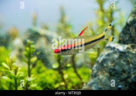 Torpedo in Aquarium - Stock Photo