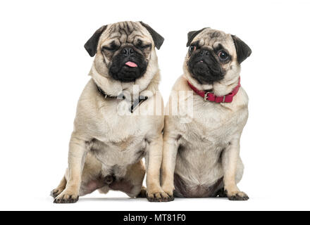 Two Pug dogs sitting together against white background - Stock Photo
