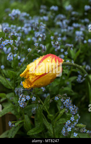 Single yellow tulip in field of forget-me-nots in a spring garden, London, England, United Kingdom, Europe - Stock Photo